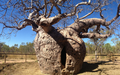 New paper: Iconic boab trees trace journeys of ancient Aboriginal people